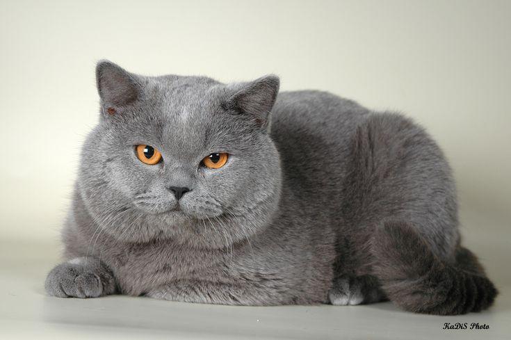 британские коты