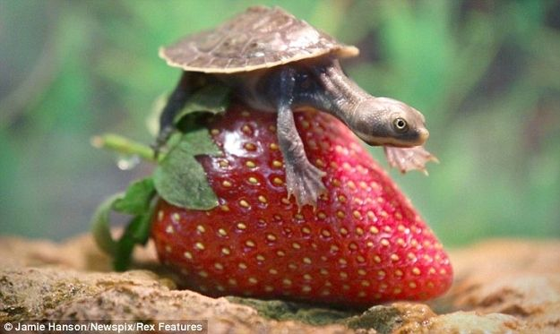 Squirtle and Myrtle are two baby side-necked turtles living on a strawberry farm in Southeast Queensland, Australia.