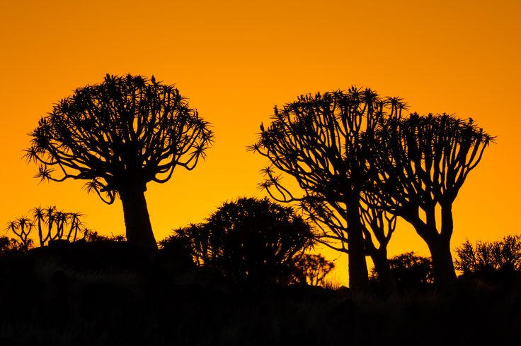 Kokerboom Sunrise - The kokerboom or quiver tree provided a great silhouette for backlit photos