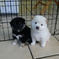 Adorable Cute SHIBA INU Puppies For Adoption Offer Bellingham
