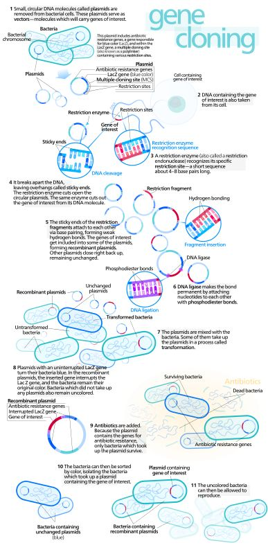 Gene cloning- this is a great visual for genetic engineering.