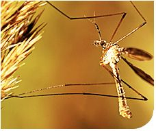 Leather Jacket or European Crane Fly