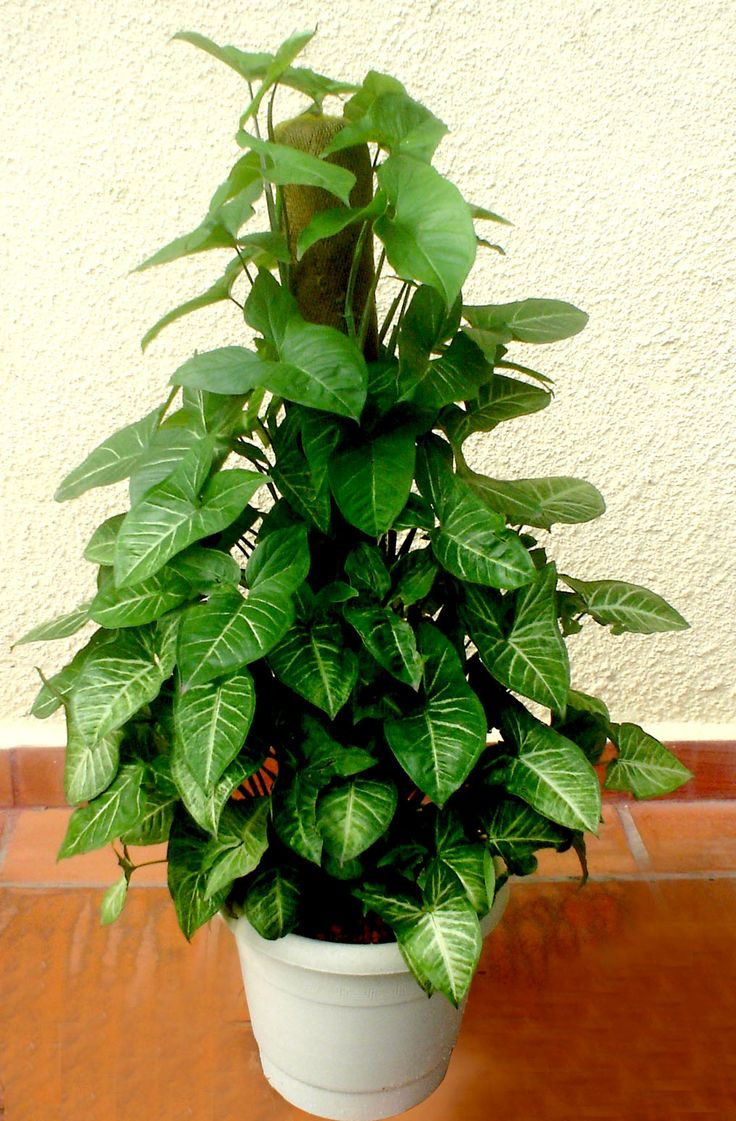 Plantas ideais para ambientes internos. Singônio (Syngonium podophyllum): cultivado à meia-sombra.