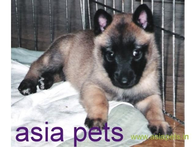 Belgian Malinois Puppies For Sale In Pune On Best Price Asiapets Malinois Puppies For Sale Malinois Puppies Puppies For Sale