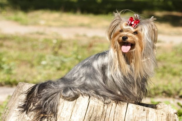 4 Yorkshire Terrier Long Haired Dog Breed Long Haired Dog