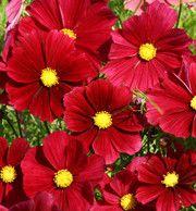 Favoriter – Sida 7 – Fröer från Rara Växter