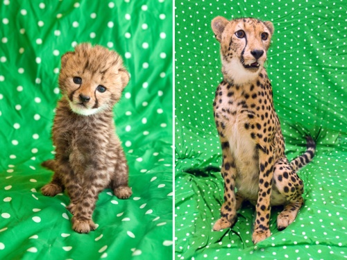 What a difference a year makes. Look how much Kasi, our baby cheetah has grown. And yes, this is the same blanket!