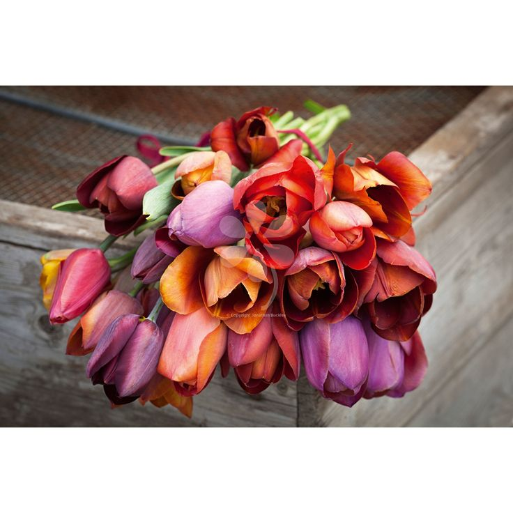 Brandy Snap tulip collection: ''Belle Epoque', 'Bruine Wimpel', 'Cairo' & 'Ronaldo' by Satah Raven.