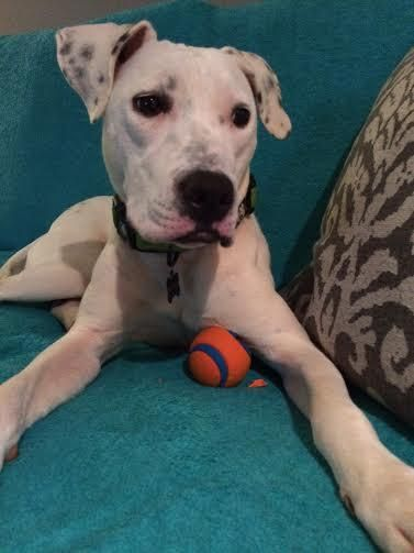 Dottie - American Bulldog-Lab mix.  Available through Atlanta Lab Rescue.  About the cuttest thing ever.  Loves her toys!