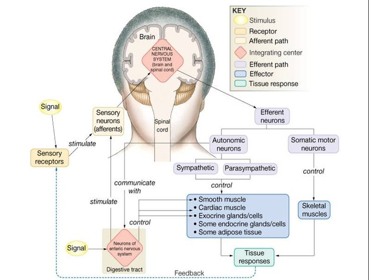 11 Best Anatomy Images On Pinterest Neurology Physical Therapy