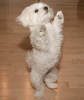 Maltese puppy, 8 months old