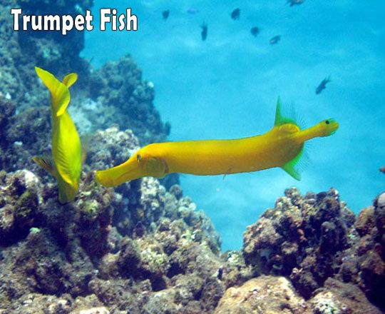 125 best hawaii underwater images on pinterest for Tropic fish hawaii