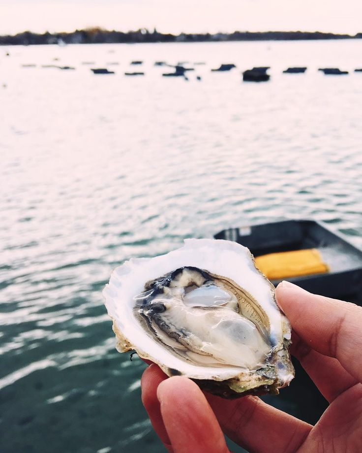 Image result for oysters in Quonochontaug Pond