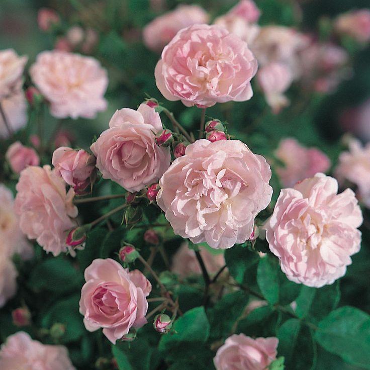 """Rosa """"blush noisette"""""""