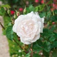 Rosa Madame Alfred Carrière - Rosier grimpant ancien, parfumé, remontant, aux roses doubles blanc-crème.