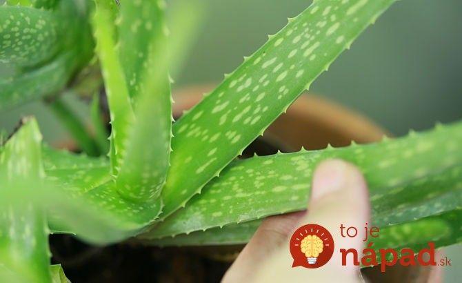 21 fantastických využití aloe vera, ktoré by mal poznať každý, kto túto rastlinku pestuje!