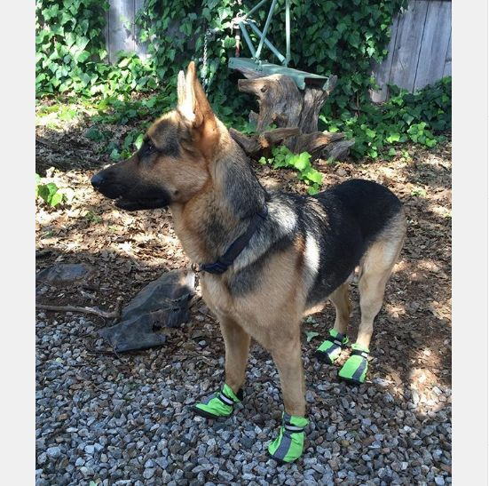 As the weather warms up, start thinking about how you will protect your dog's paws from the hot pavement. Place your hand on the pavement for ten seconds - if it's too hot to keep your hand on, pick up dog booties! (IG: lucasscott_gsd)