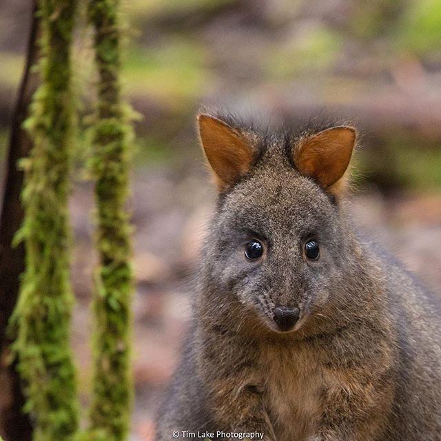 Pademelon spotted at Mt Field via http://buff.ly/1LRqxJd?utm_content=buffer73523&utm_medium=social&utm_source=pinterest.com&utm_campaign=buffer
