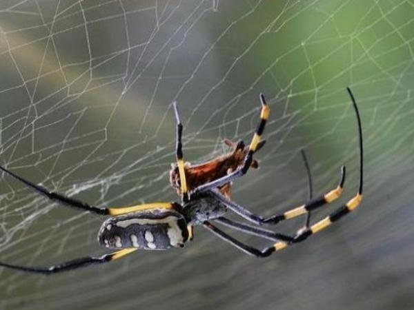 Jaring Laba-laba Lebih Kuat dari Serat Baja
