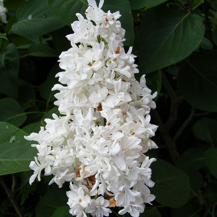 1000 ideas about syringa vulgaris on pinterest lilacs shrubs and lilac bushes. Black Bedroom Furniture Sets. Home Design Ideas