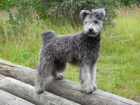 Pumi Dog Info, History, Temperament, Training, Puppies, Pictures