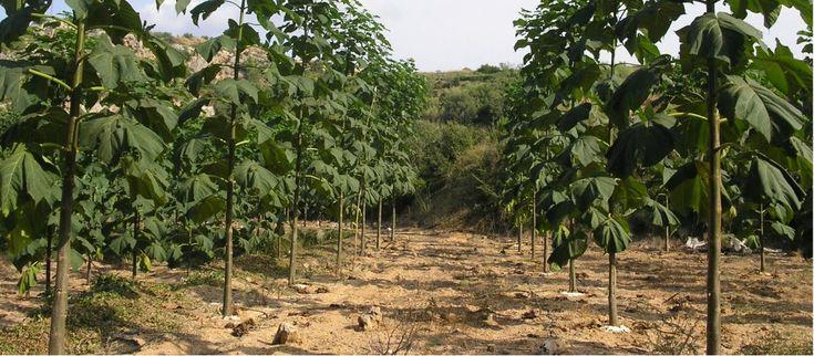 San Luis planta kiri el árbol que frena el cambio climático - Revista El Federal