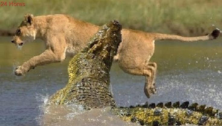 Cocodrilo vs León, Dramático