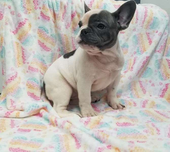 Pie White Blue Female French Bulldog From Bulgaria French