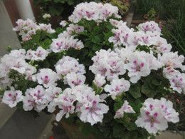 Geranium Flower Seeds Online | Wholesale Geranium Flower Seeds for Sale
