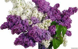 Kertek,Udvarok,Ötletek.:  ORGONA Imádom az illatát     Az orgona elsőre...