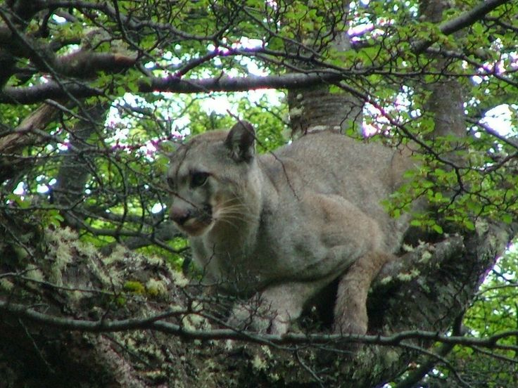 Mountain lions (puma concolor) are the top predator in the Futaleufu region, however,while abundant, they are rarely seen or photographed. This one is from O'Higgins in the Aysen Region by Hans Shaaa | from Panoramio http://www.panoramio.com/photo/3221017