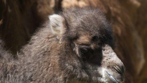 Amelia il cucciolo di cammello nato al Bioparco di Roma