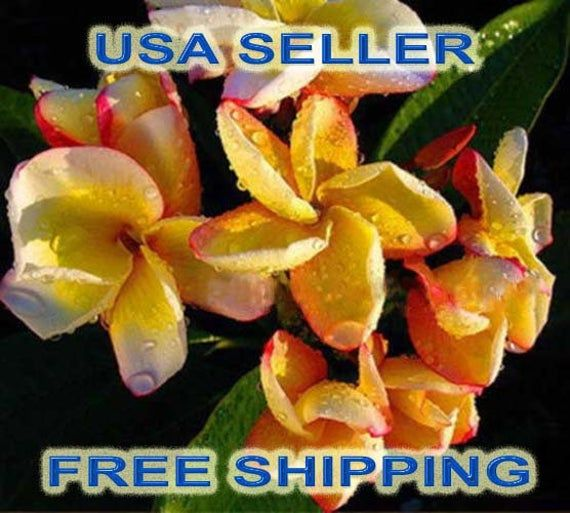 "25 High Quality ""ORANGE RAINBOW"" Plumeria/Frangipani Fresh Seeds USA Seller/Free Shipping"