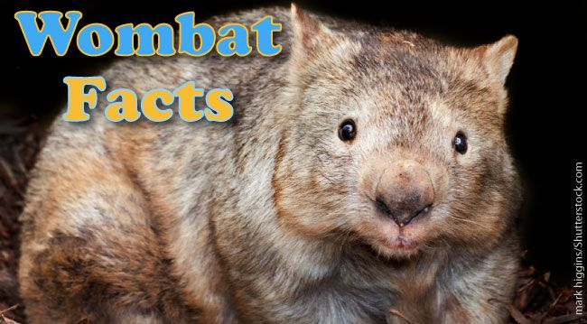 Wombat facts for kids and adults. Information & pictures. Part of Active Wild's Australian Animals series. Habitat, diet, types of wombat, threats, & more.