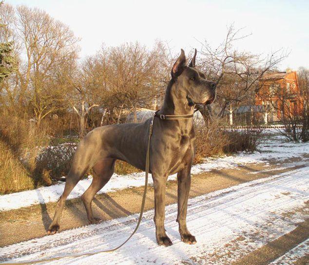 Beautiful Great Dane
