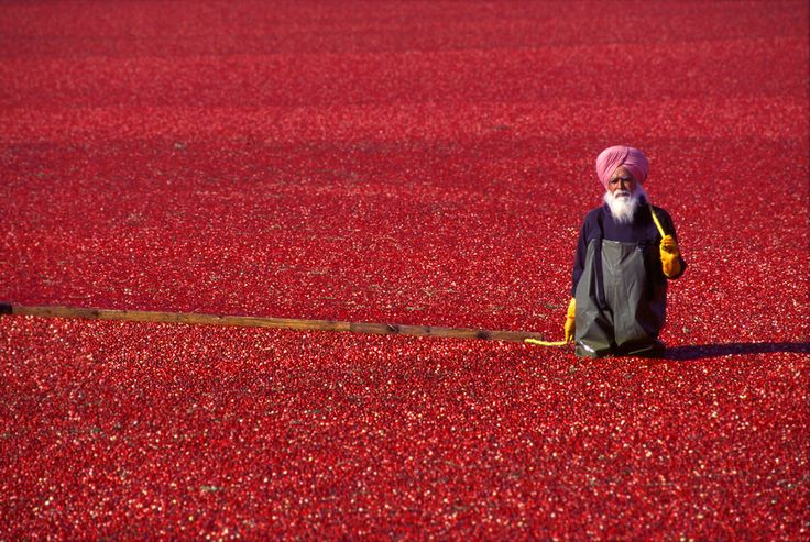 The cranberry bogs of southern British Columbia become a sea of red each autumn during harvest.  by   Rob KruytPhotos, Southern British, Red, Autumn, Rob Kruyt, Cranberries Bog, Harvest, Photography Inspiration, British Columbia