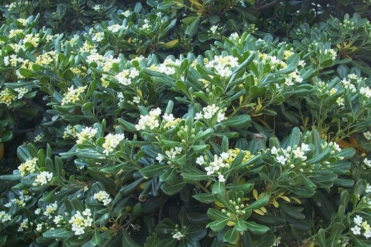 Shrubs For Shade Houston : Best images about plant materials for houston small