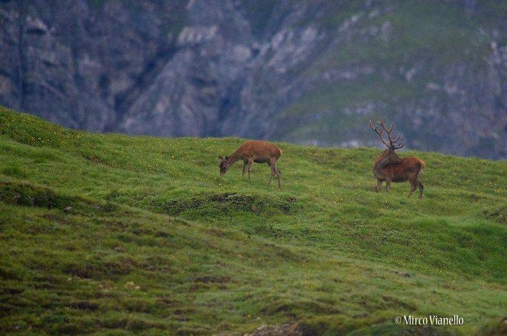 mattino molto presto, solo così si possono trovare al pascolo, poi si sistemano tranquilli, in posti arieggiati. per saperne di più sul cervo: http://www.livignese.it/cervo.php