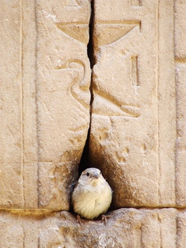 Little bird at the Temple of Horus in Egypt.