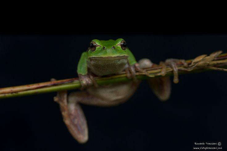 tree frog - null