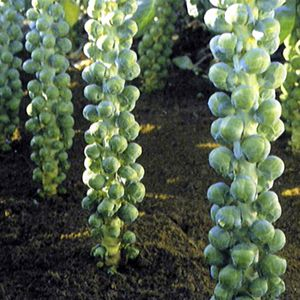 winter garden - Brussels sprouts