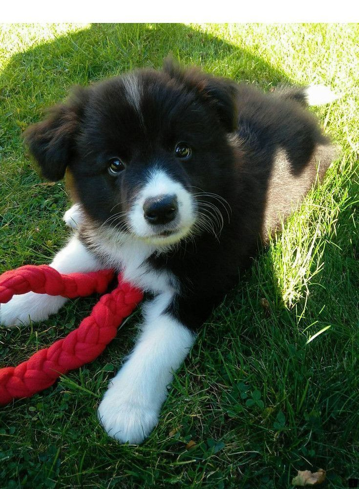 Pin By Hayley Daniels On Cute Animals In 2020 Collie Puppies