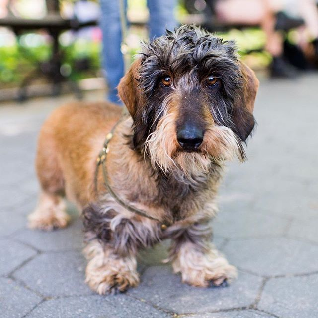 Lutte Wirehaired Dachshund 8 Y O Washington Square Park New