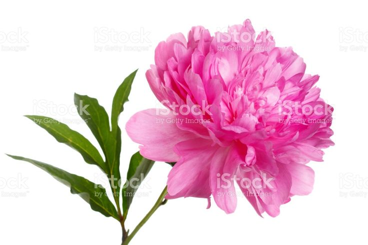 Pink peony isolated on white background. Стоковые фото Стоковая фотография