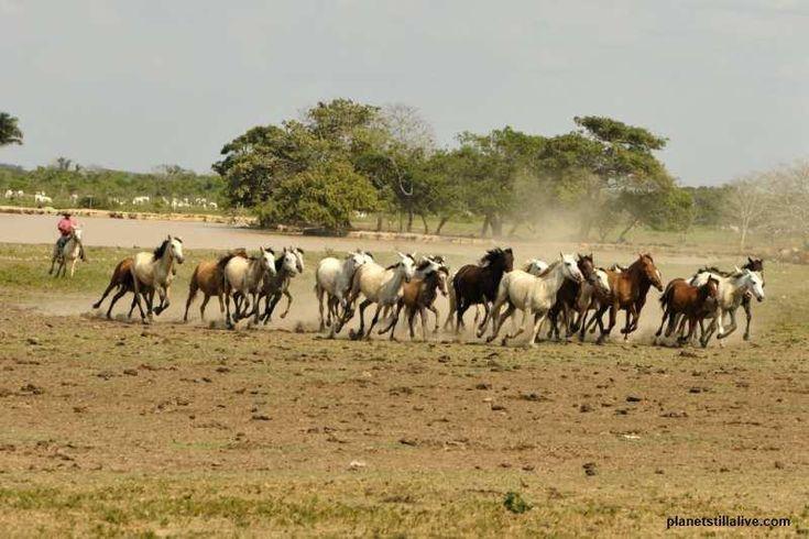 Llanero and horses in Los Llanos, Colombia