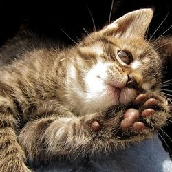 patte coussinet chat