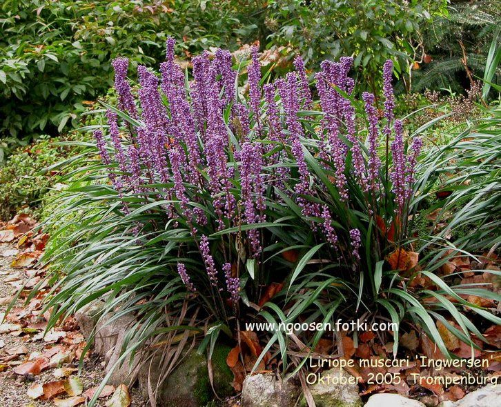 Liriope muscari 39 ingwersen 39 low maintenance plant does for Low maintenance winter plants