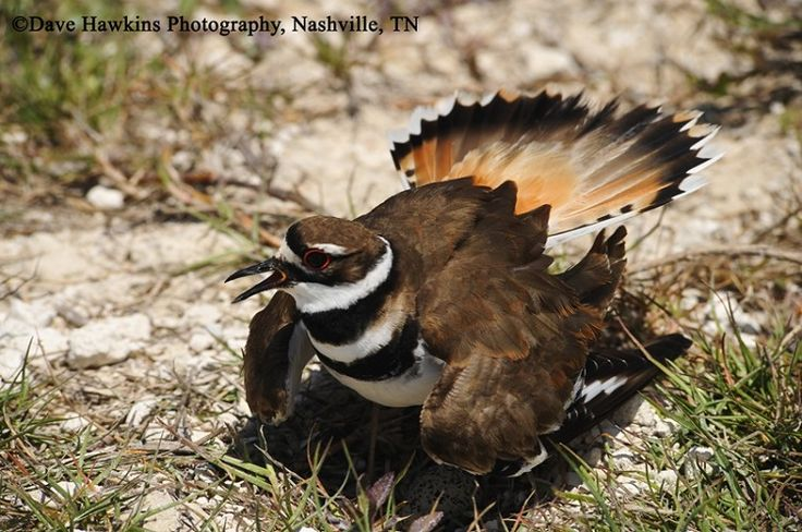 17 Best images about Tennessee Birds on Pinterest | Indigo ...
