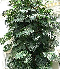 Monstera - Araceae - Monstera deliciosa  #DeCaliSeHablaBien