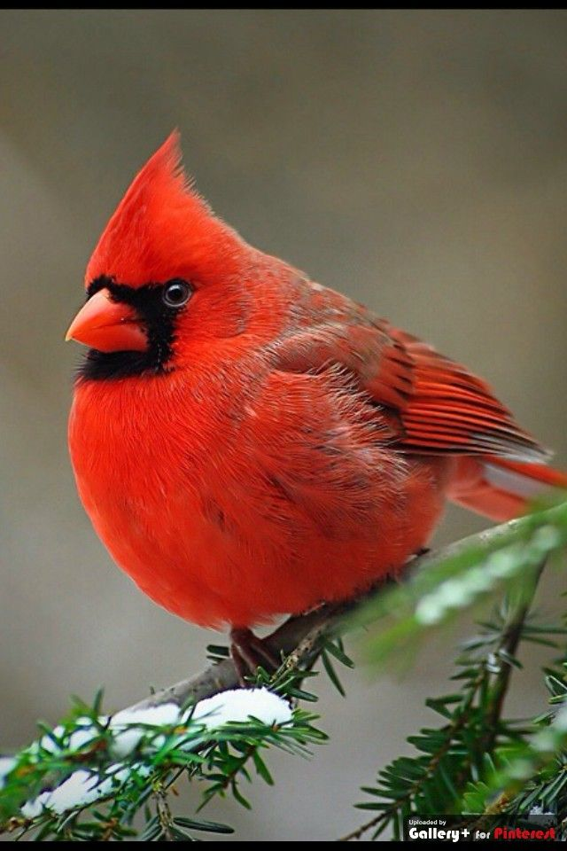 Norther Cardinal male beauty